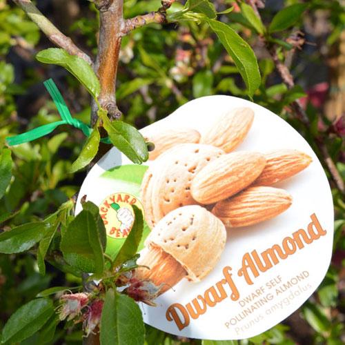 Almonds Dwarf