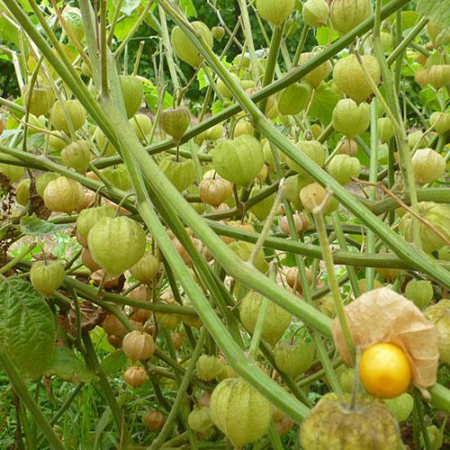 inca-berries