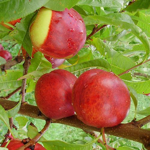 Nectarines1