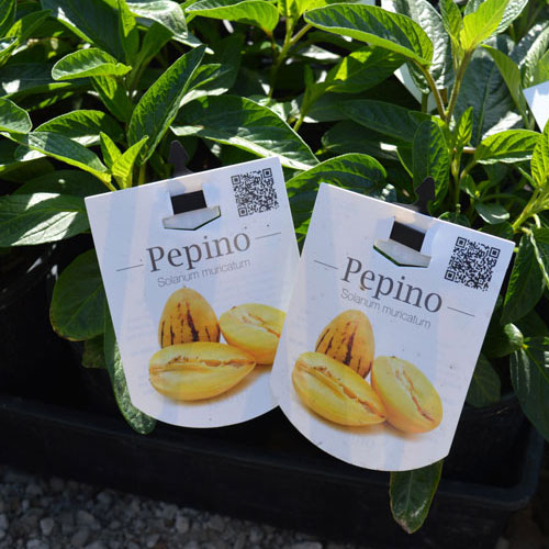pepino1