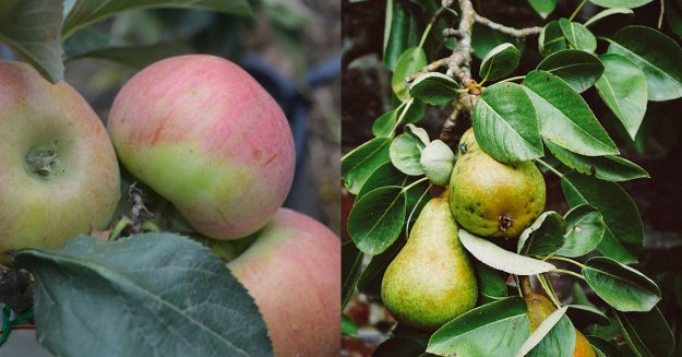 apple and pear trees for sale