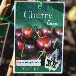cherries-lapin