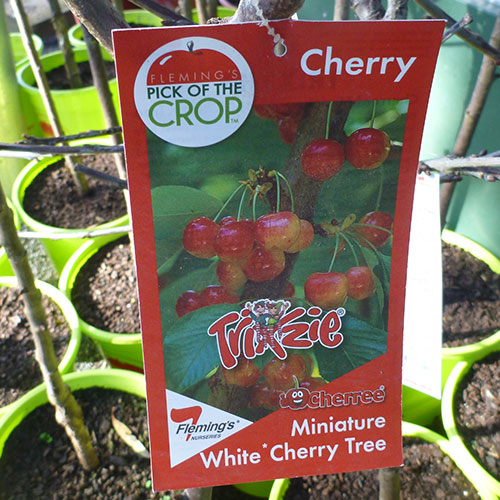 Cherries Minature White