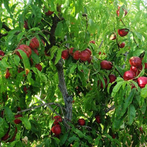 nectarines2