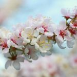 Beautiful Blossom – Peak Season is here!
