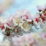 Beautiful Blossom – Peak Season is here!