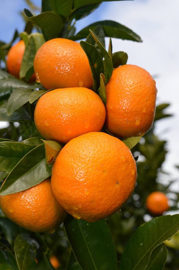 mandarin-in-orchard