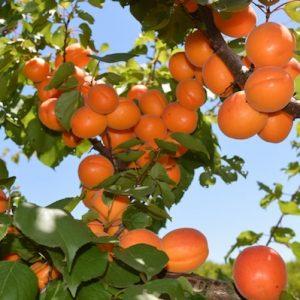 Apricots galore 2 copy