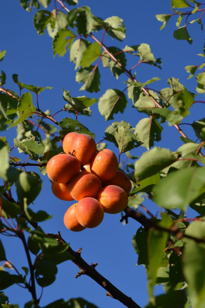 Summer apricots