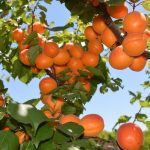Apricot Season at the farm!