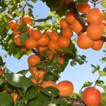 Apricot Season at the farm!
