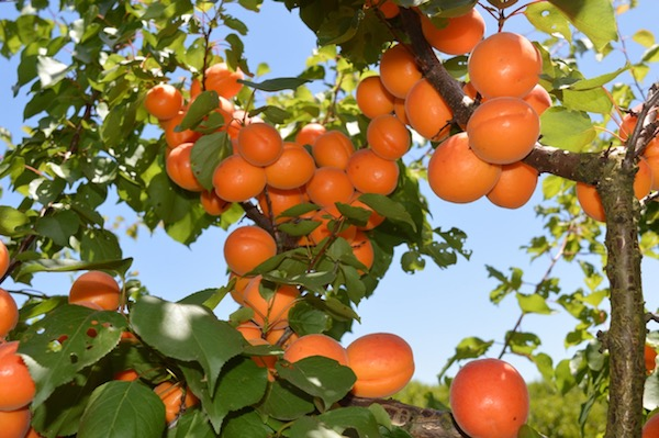 Apricots in season