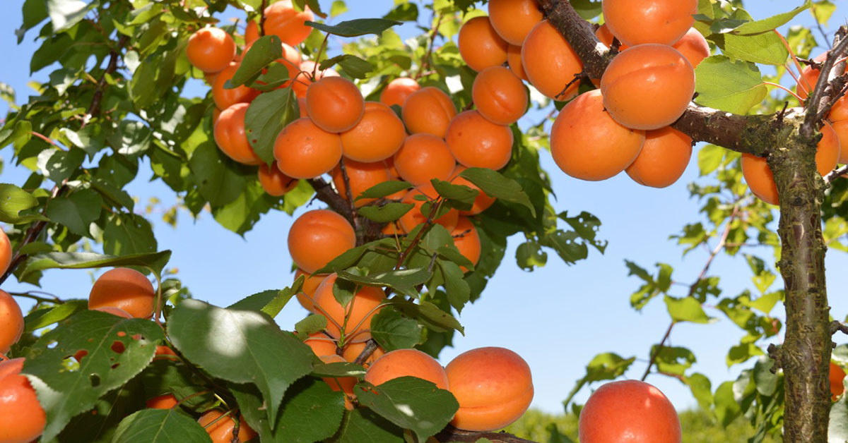 apricot trees for sale