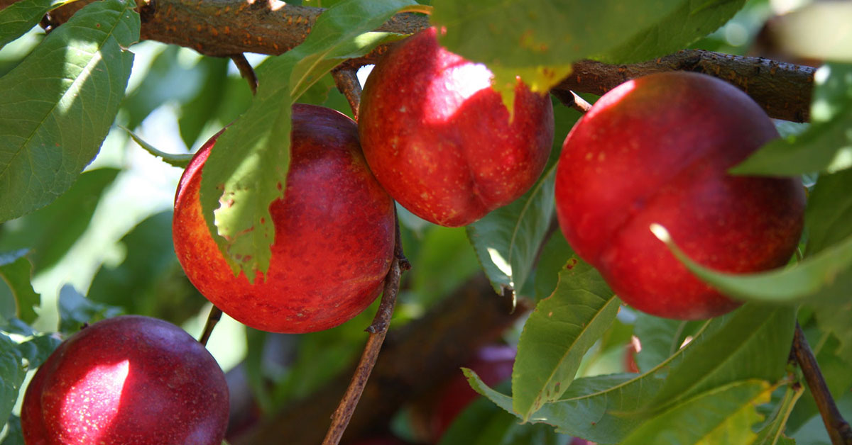 buy nectarine trees