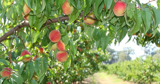 buy peach trees