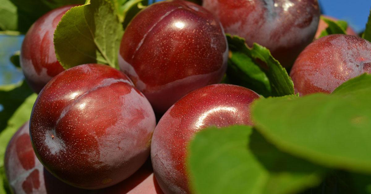 buy plum trees