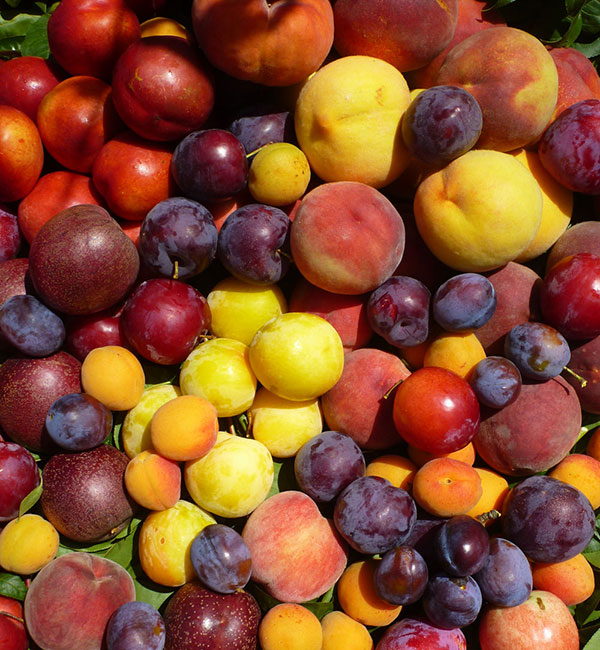 Rayners Orchard U Pick Fruit Orchard Tours Fruit Picking Melbourne Victoria Yarra Valley
